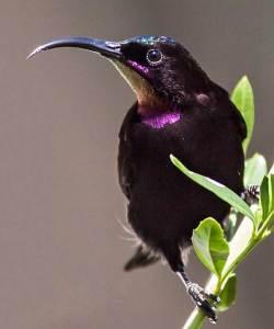 Amethyst-sunbird